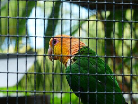 Stainless Cap Parrot, Pionites Leucogaster, Parrot, Zoo
