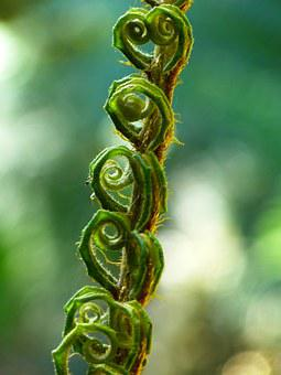 Fern, Fiddlehead, Roll Out, Roll, Plant, Green, Leaves