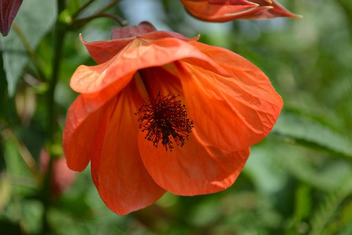 Abutilon, Mallow, Flower, Red, Indian Mallow, Orange