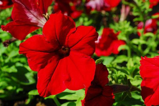 Petunia, Red Flower, Red Petunia, Nature, Red, Plant