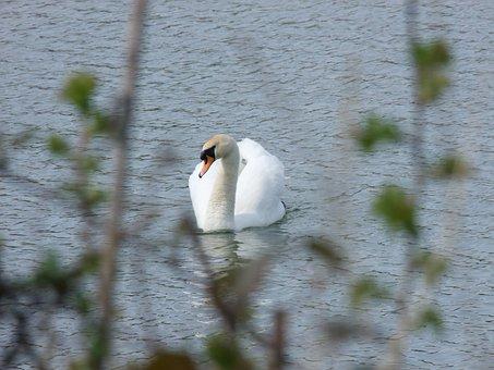 Swan, Reservoir, Park, Lake, Water, Nature, Sky, Blue