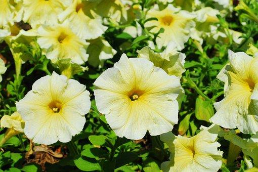 Petunia, Yellow Flower, Yellow Petunia, Nature, Yellow