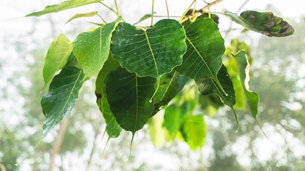 Bodhi Leaves, Awakening, Awake-ness, Enlightenment
