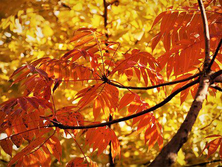 Yellow Leaves, Autumnal Leaves, Gingko Tree, Branch