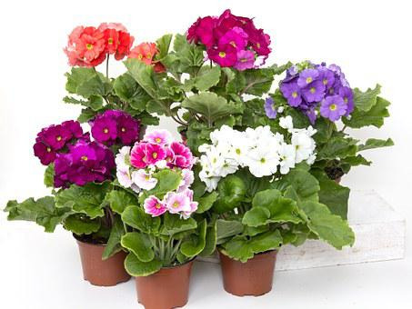 Primroses, Cup Primrose, Colorful, Flower, Plant