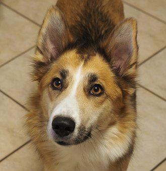 Dog, Hybrid, Pet, Animal, Der Partisan, Dog Snout