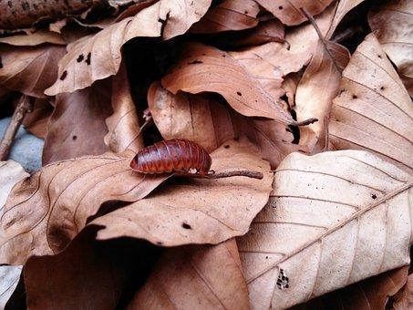 Glomeris Marginata, Forest Leaf, Autumn