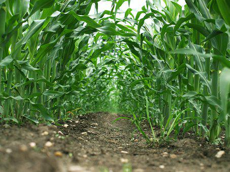 Maize, Field, Green, Agriculture, Farming, Food, Summer