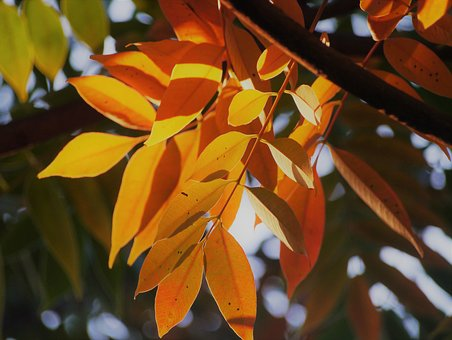 Yellow Leaves, Autumnal Leaves, Red, Huang, Green