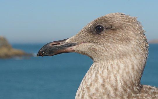 Juvenile Gull, Bird, Animal
