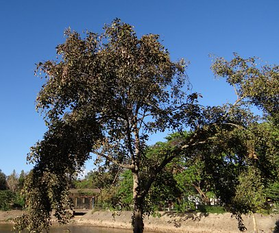 Pongamia Pinnata, Indian Beech Tree, Honge, Karanji