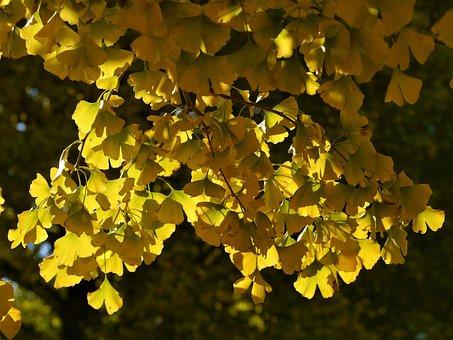 Yellow Leaves, Gingko Tree, Maidenhair Tree, Huang