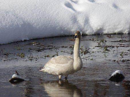 Swan, Bird, Raufoss, Norway, Water, River