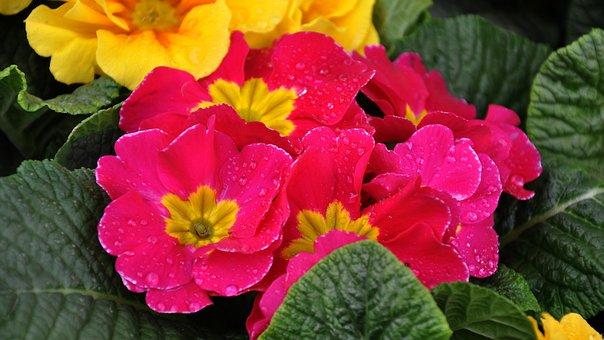 Primula, Spring, Spring Flower, Purple