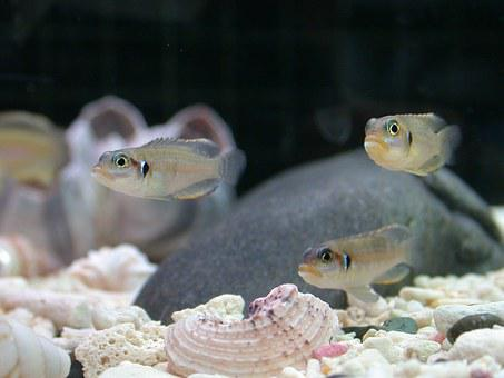 Tropical Fish, Tooth Ohselra, Fish Tank, Shell