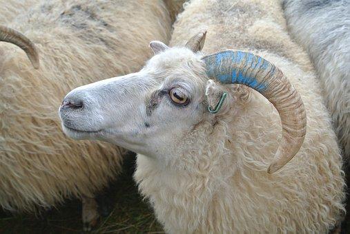 Sheep Herding, Shepherding, May, Rettir, Iceland, Bock