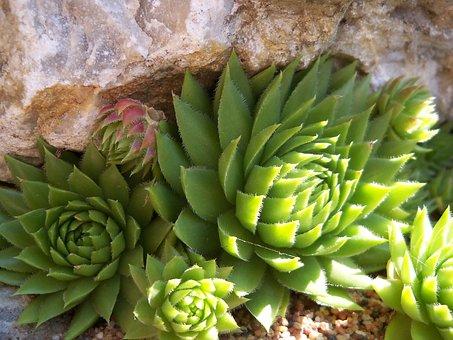 Stonecrop, Real Stonecrop, Stone, Plant, Succulent