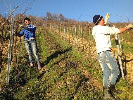 Vineyard, Pruning, Oltrepo Pavia, Wine, Grapes