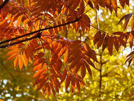 Yellow Leaves, Autumnal Leaves, Gingko Tree, Red, Huang