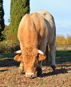 Bull, Cattle, Agriculture, Animals, Horn, Snout