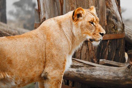 Africa, Animal, Big, Carnivore, Cat, Face, Feline, Fur
