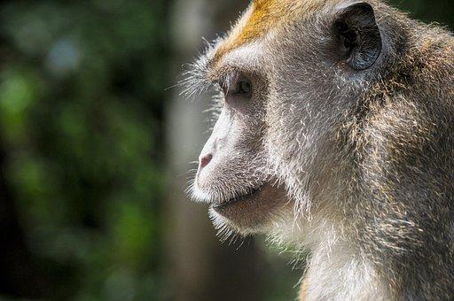 Monkey, Animal, Mammal, Ape, Nature, Cute, Wild