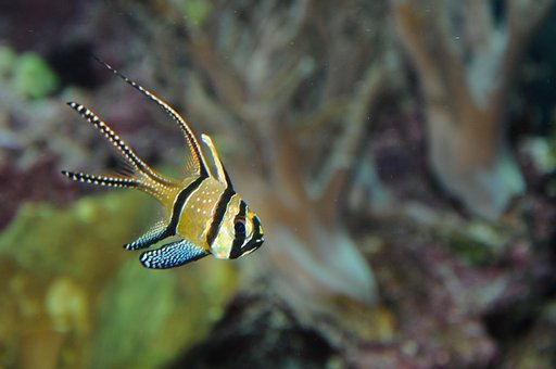 Cardinalfish, Perch, Aquarium, Fish, Toy, Tropical