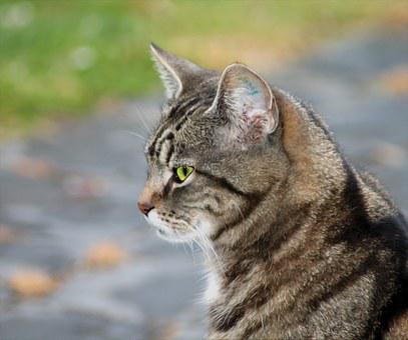 Cat, Pets, Livestock, Model, Expensive, Fur Animals