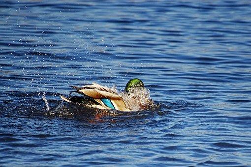 Duck, Mallard, Drake, Water Bird, Appear, Drop Of Water