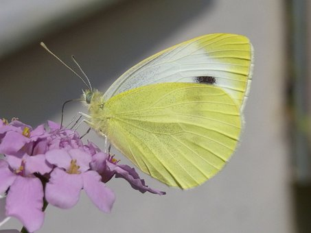 Green Tube White, Pieris Napi, Butterfly, Insect