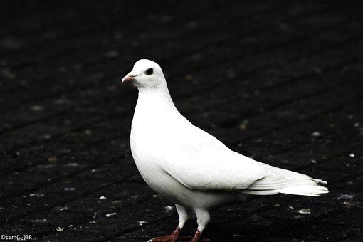 Kanlica, Da, A Bird