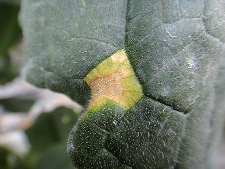 Cucumber, Leaf, Disease