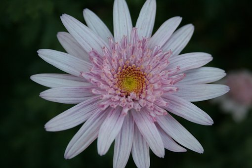 Daisy, Flower, Bloom, Crown, Double, Light Pink