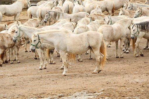 Horses, Herd, Lipizzan, White, Lipica, Slovenia