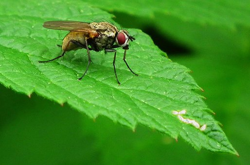 Fly, Insects, Bug, Pest, Vermin, Disease, Macro