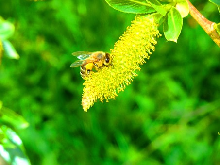 Bee, Spring, Pasture, Insect, Nature, Flower, Macro