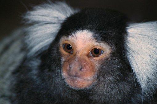 Pinselohraffe, Monkey, Animal, Animal World, Mammal