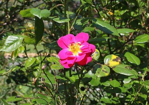 Pink Rose, Wild Rose, Rose, Blackspot