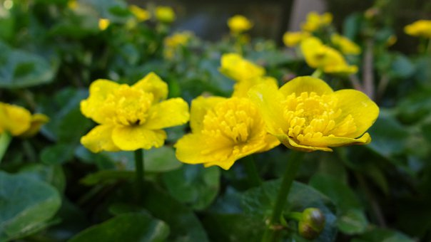 Caltha Palustris, Pond Plant, Yellow, Nature, Plant