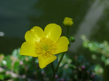 Caltha Palustris, Pond, Pond Plant, Yellow