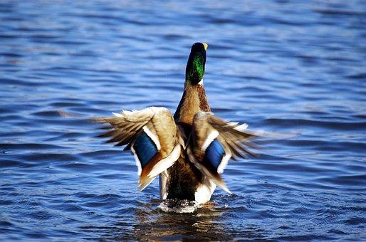 Duck, Mallard, Drake, Water Bird, Straighten, Set Up