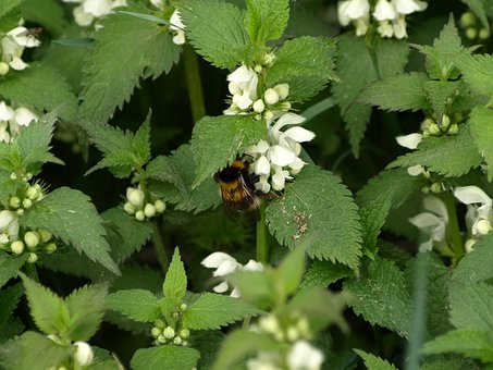 Dead Nettle, White Deadnettle, Hummel