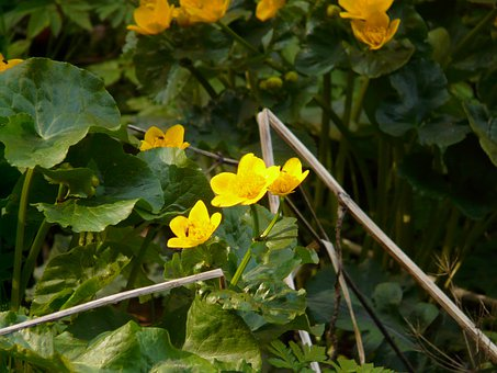 Caltha Palustris, Aquatic Plant, Blossom, Bloom, Yellow