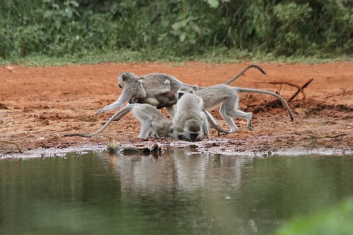 Ape, Africa, Limpopo, Water Hole, Drink