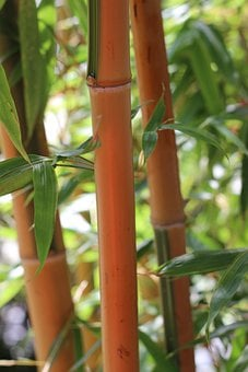 Bamboo, Bamboo Plants, Bamboo Rods, China