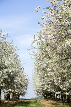 Blossoms, Trees, Road, Garden, Pring, Nature, Blossom