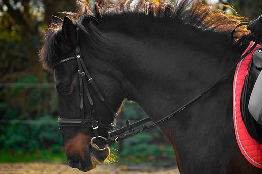 Horse, Andalusians, Spanish, Ride, Trot, Bridle, Teeth