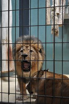 Lion, Zoo, Caged, Wildlife, Roar, Mane, Berlin