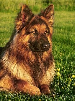 Dog, Friend, German Shepherd, Coat, Long-haired, Animal