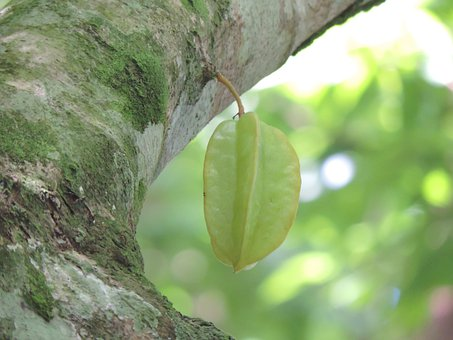 Star Fruit, Fruit, Star Fruit Tree, Tree